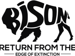 BISON RETURN FROM THE EDGE OF EXTINCTION